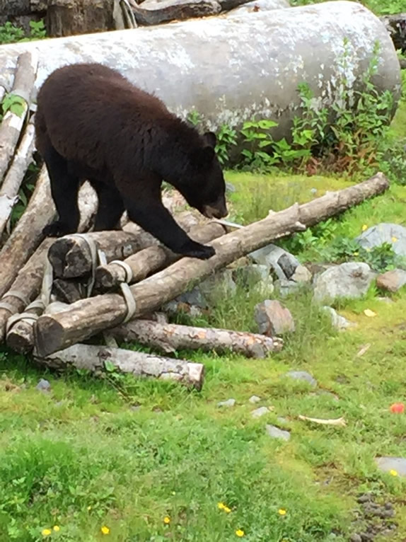 One of the black bears at a bear rescue center that we visited in Sitka.